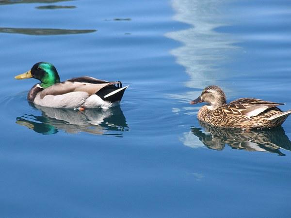Dois patinhos na lagoa